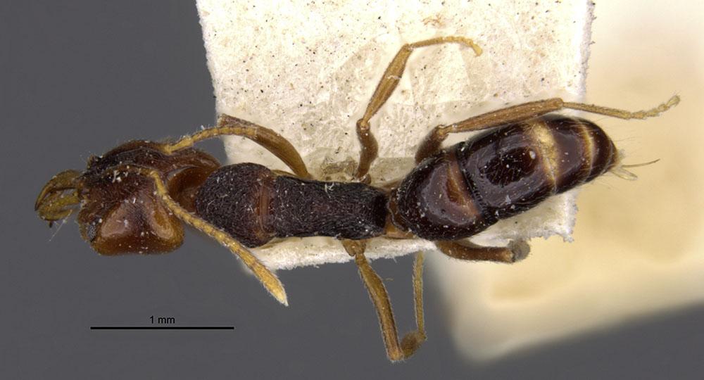 Image of Anochetus graeffei