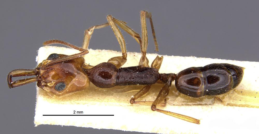 Image of Anochetus rufus