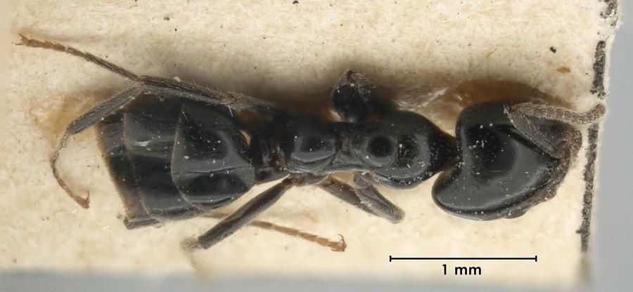 Image of Anonychomyrma nitidiceps