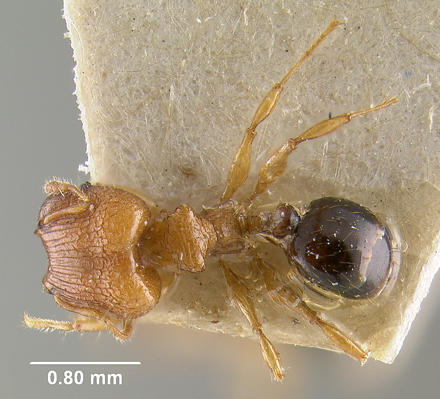 Image of Pheidole philemon