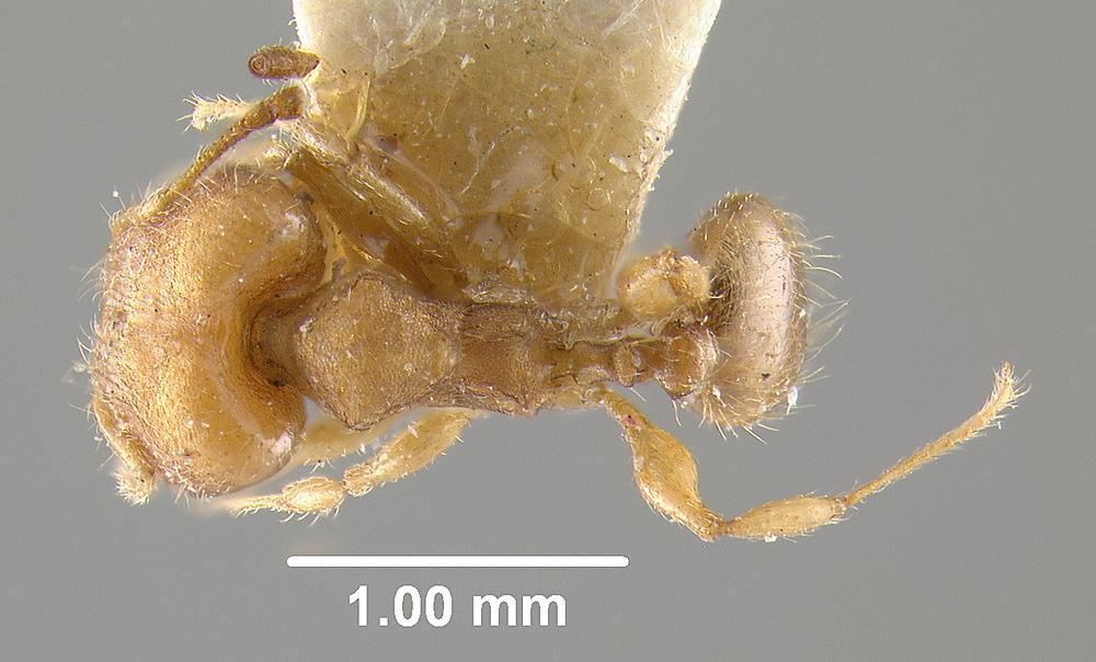 Image of Pheidole goeldii