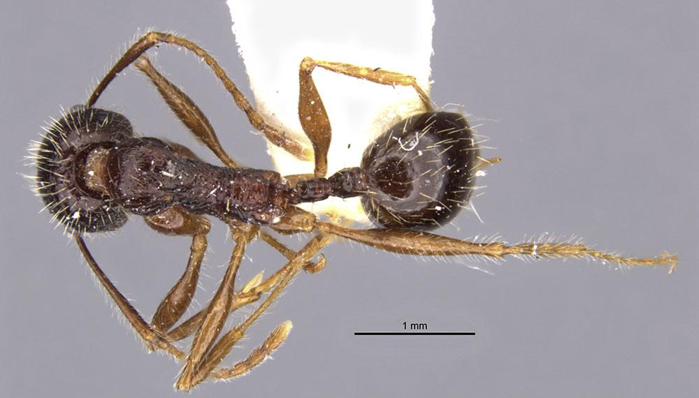Image of Aphaenogaster haarlovi