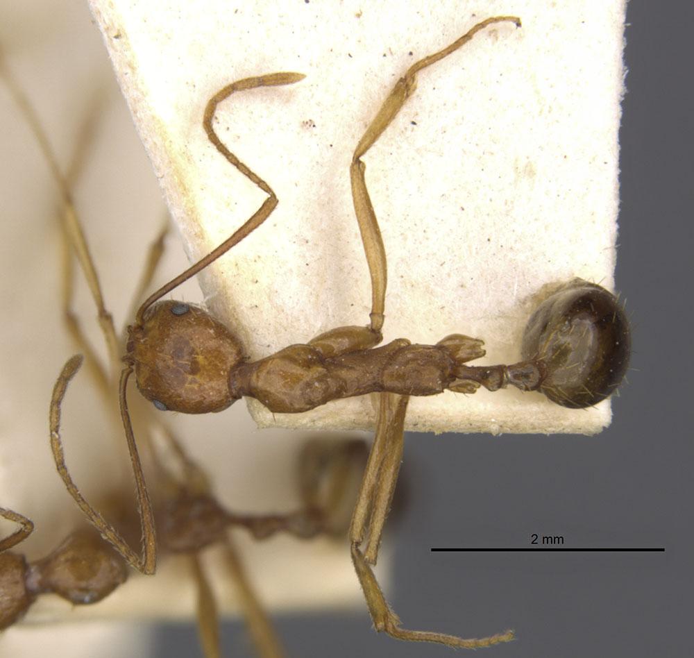 Image of Aphaenogaster kervillei