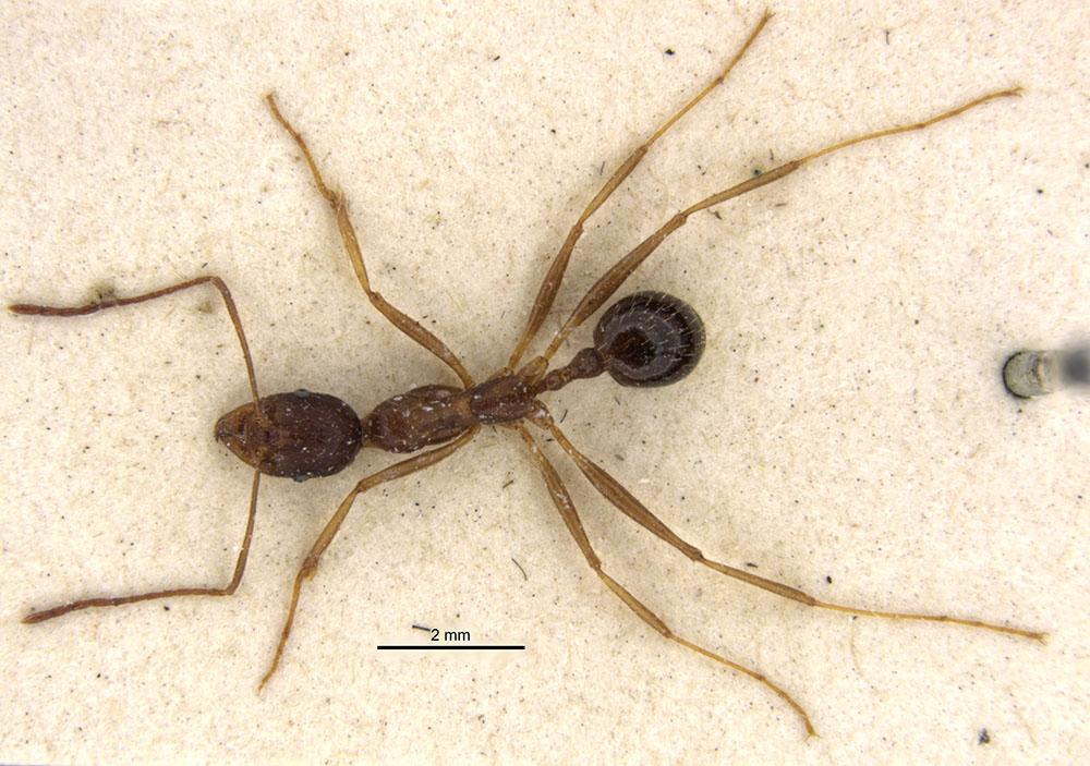 Image of Aphaenogaster rothneyi