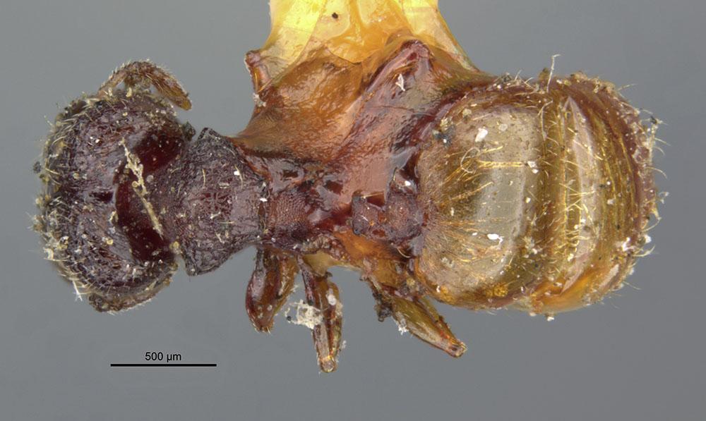 Image of Pheidole brevicornis
