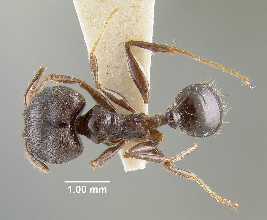 Image of Pheidole sepulchralis