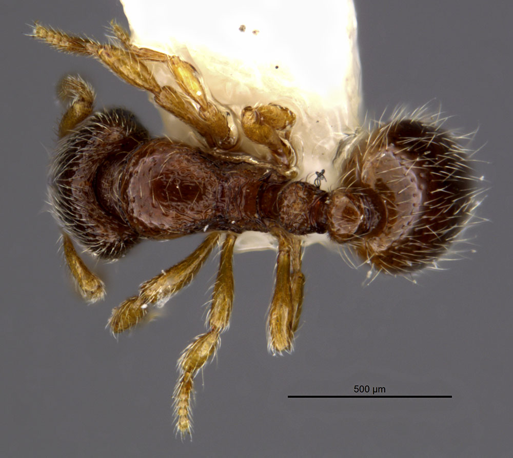 Image of Adelomyrmex samoanus