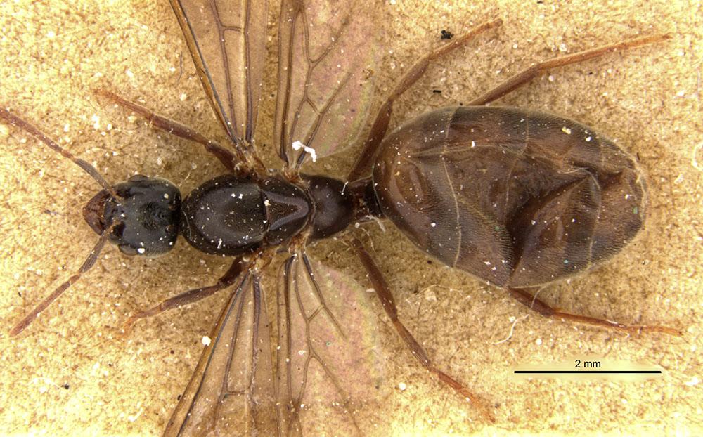 Image of Anillidris bruchi