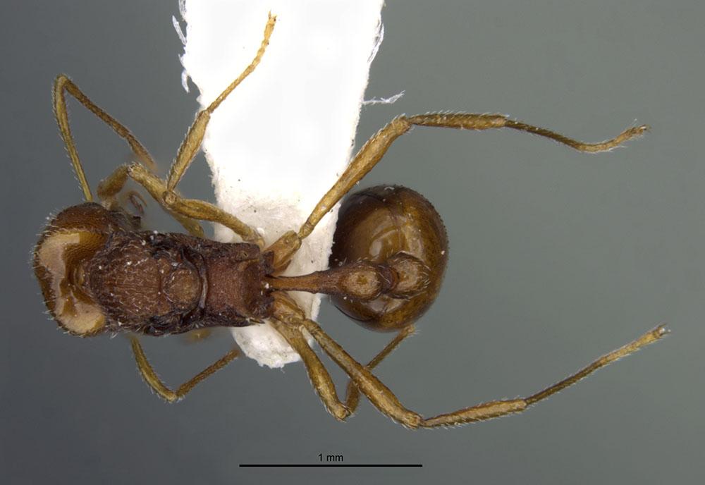 Image of Acanthognathus rudis