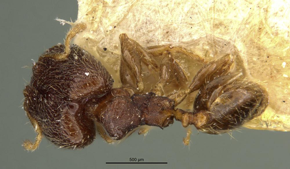 Image of Pheidole mus