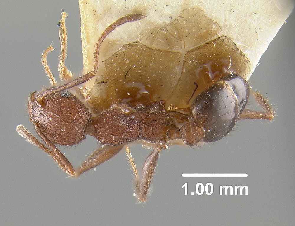 Image of Pheidole fergusoni