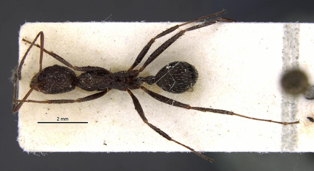 Image of Aphaenogaster picena