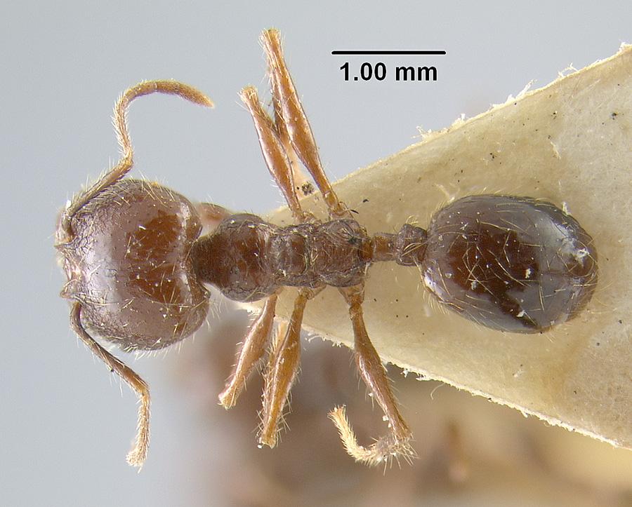 Image of Pheidole tijucana