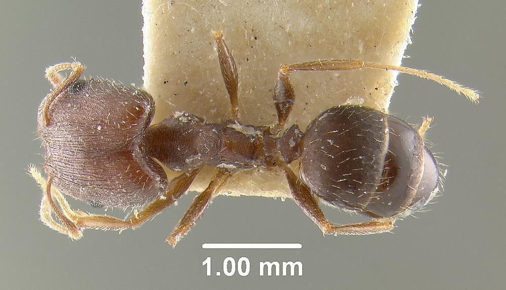 Image of Pheidole ghatica