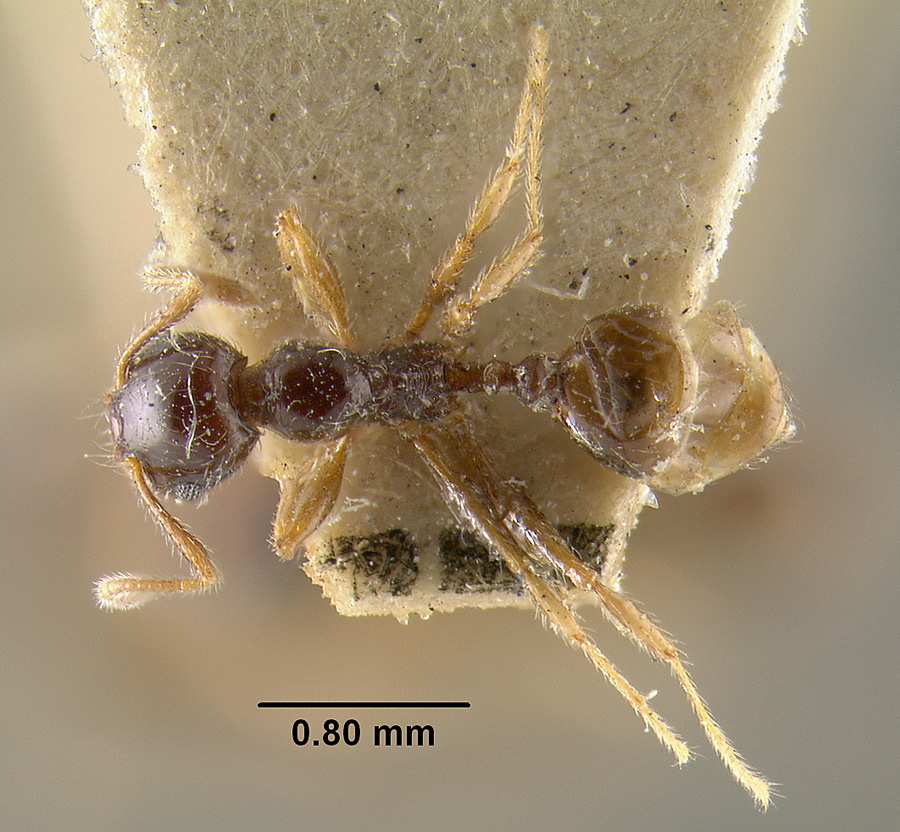 Image of Pheidole vallifica