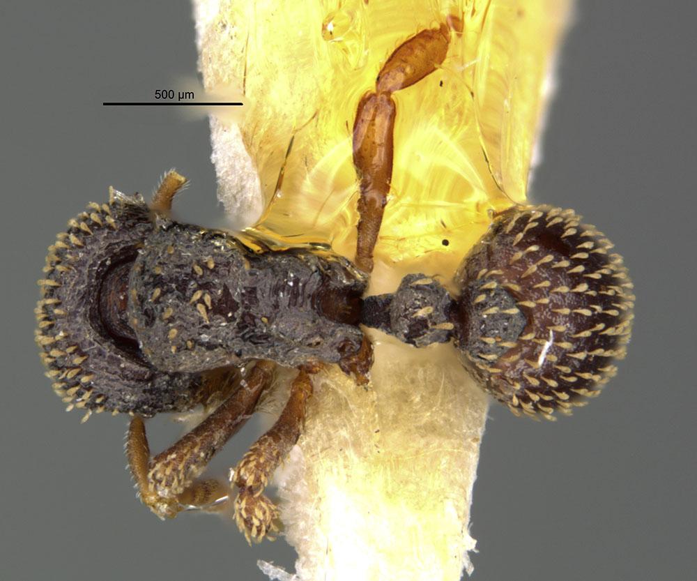 Image of Calyptomyrmex duhun