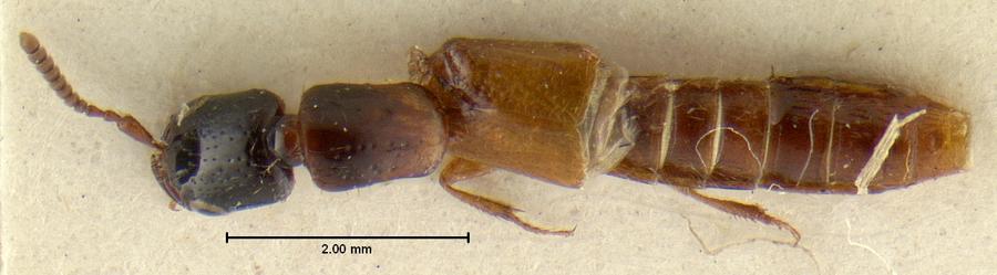 Image of Neohypnus bicolor