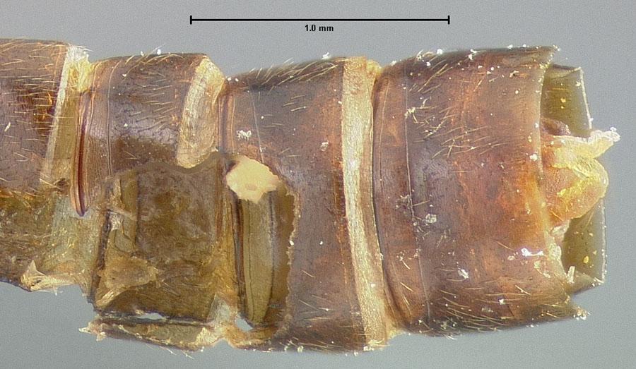 Image of Linohesperus rhomboides
