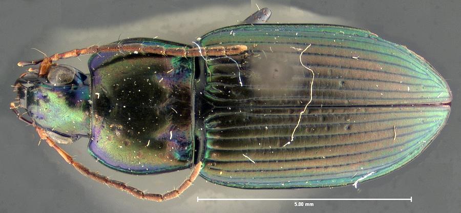 Image of Poecilus chalcites