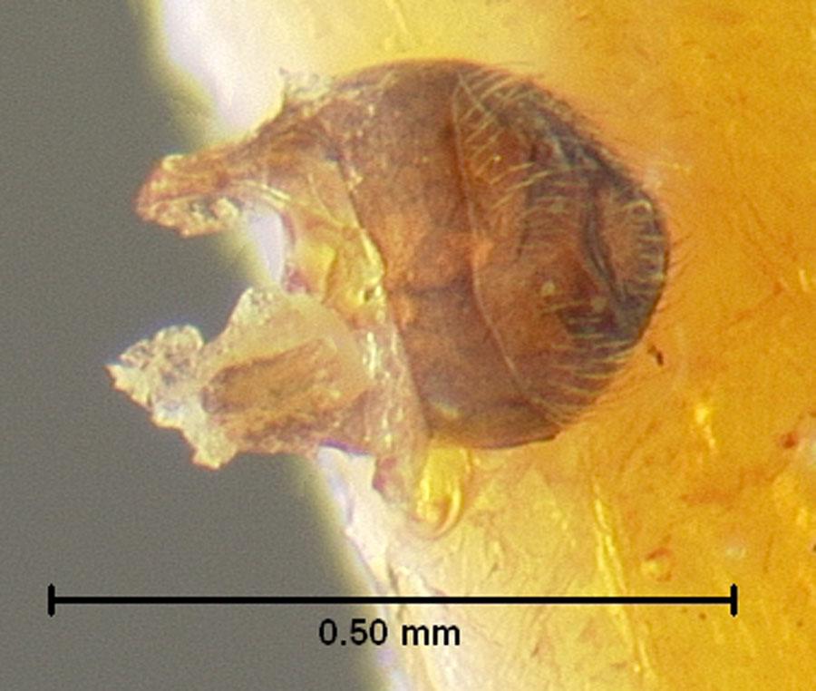 Image of Cylindrarctus onaga