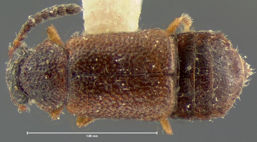Image of Eudectus crassicornis