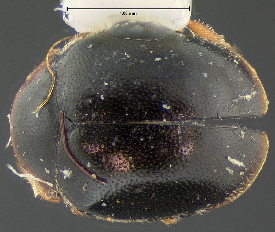 Media of type image, MCZ:Ent:33663 Identified as Scymnus ardelio type status Syntype of Scymnus ardelio. . Aspect: habitus dorsal view