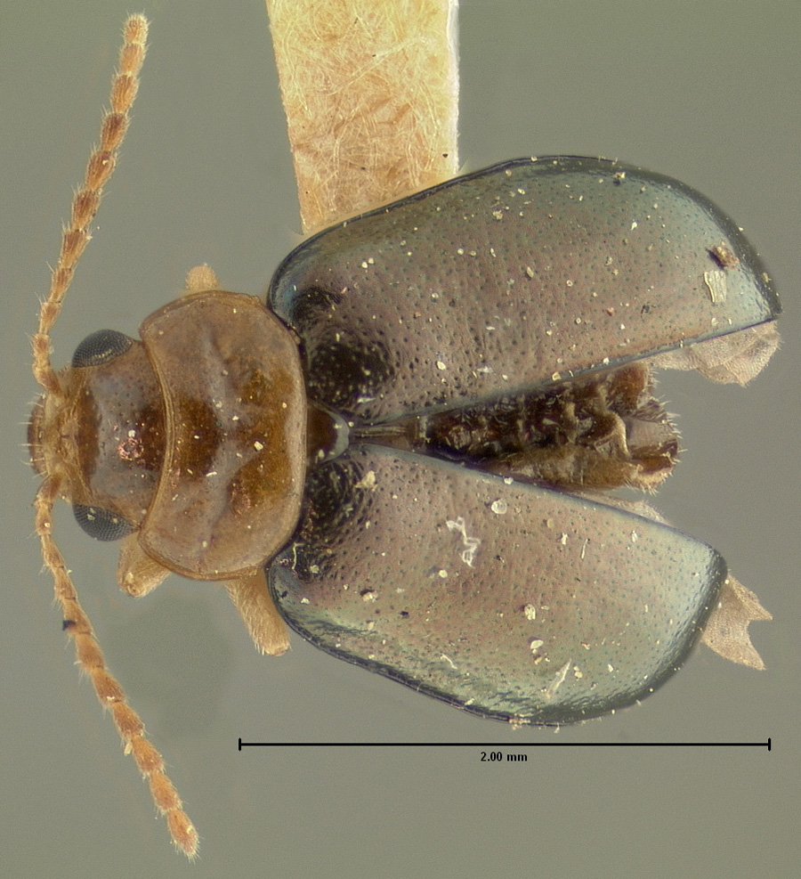 Media of type image, shows cataloged_item. MCZ:Ent:33889 Identified as Halticidea delata type status Syntype of Halticidea delata. . Aspect: habitus dorsal view