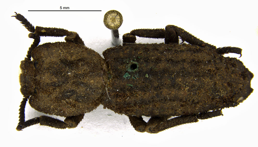 Media of type image, MCZ:Ent:33955 Identified as Noserus emarginatus type status Holotype of Noserus emarginatus. . Aspect: habitus dorsal view