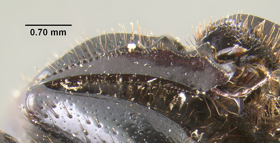 Image of Onthophagus brevifrons
