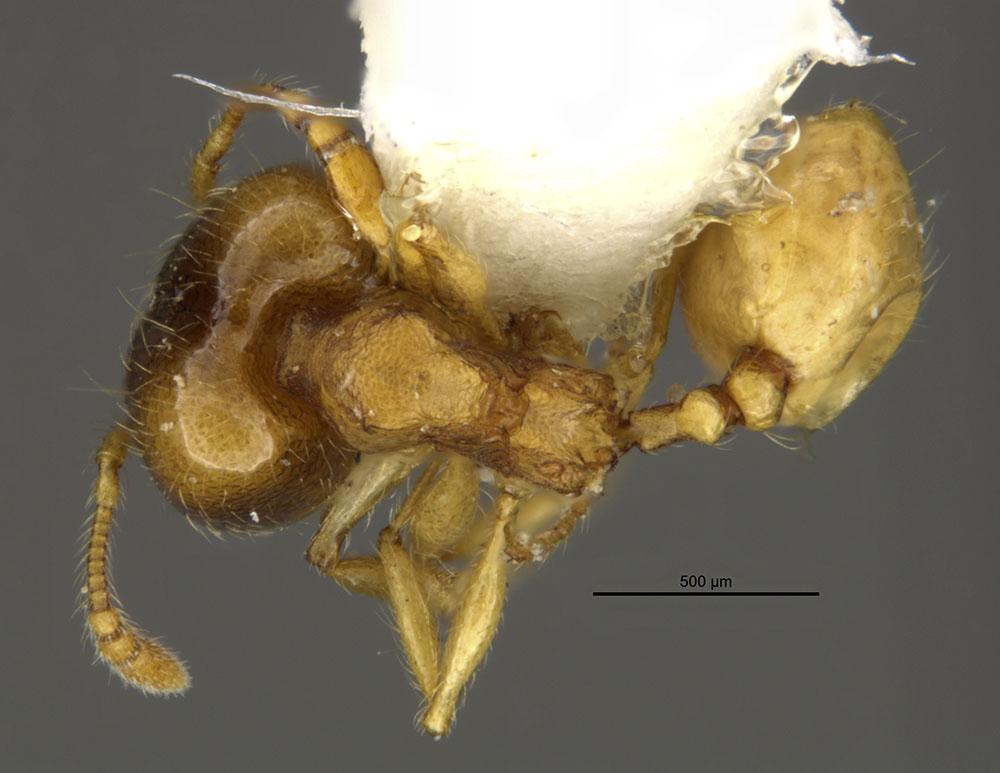 Image of Pheidole nasutoides