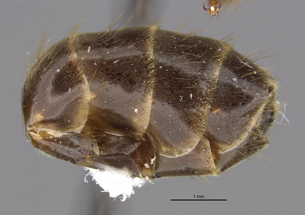 Image of Azteca petalocephala