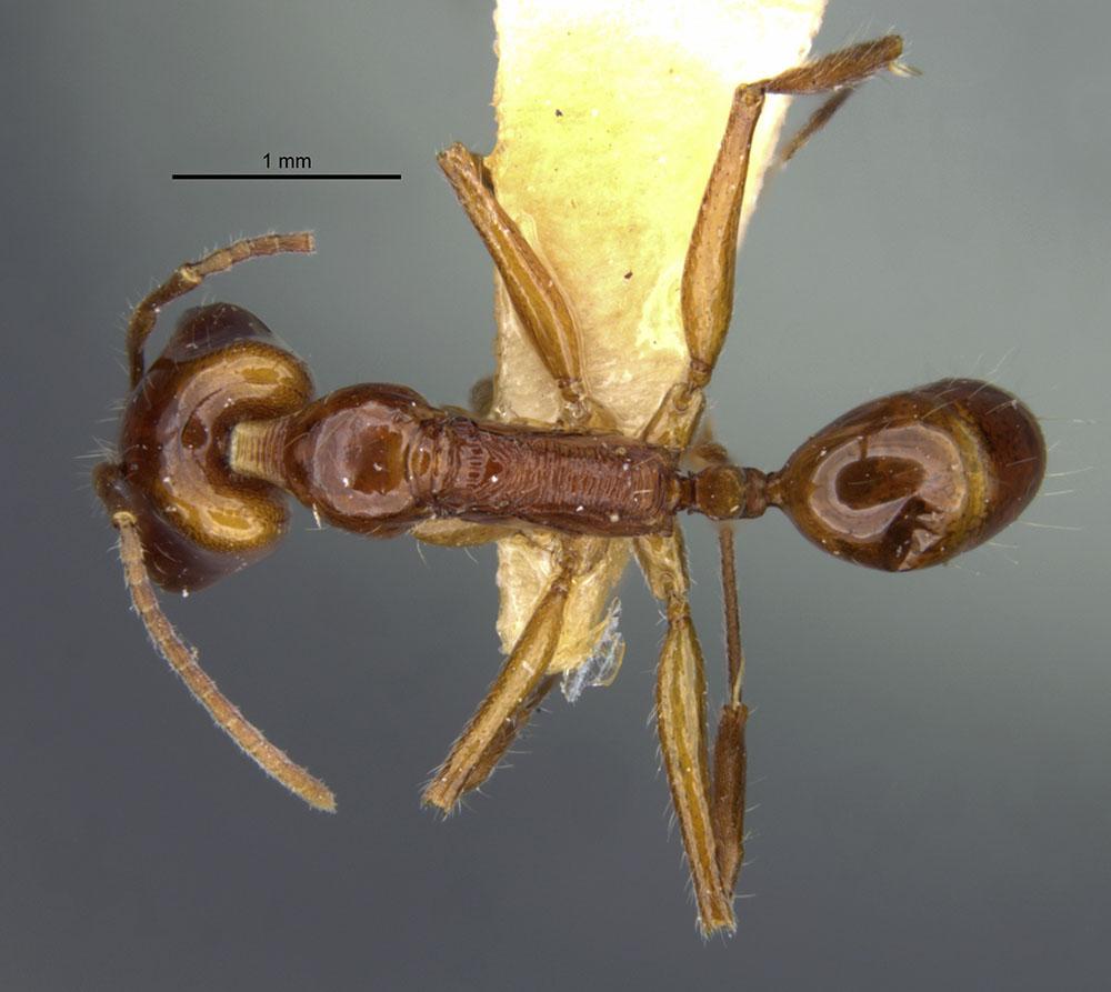 Image of Anochetus peracer