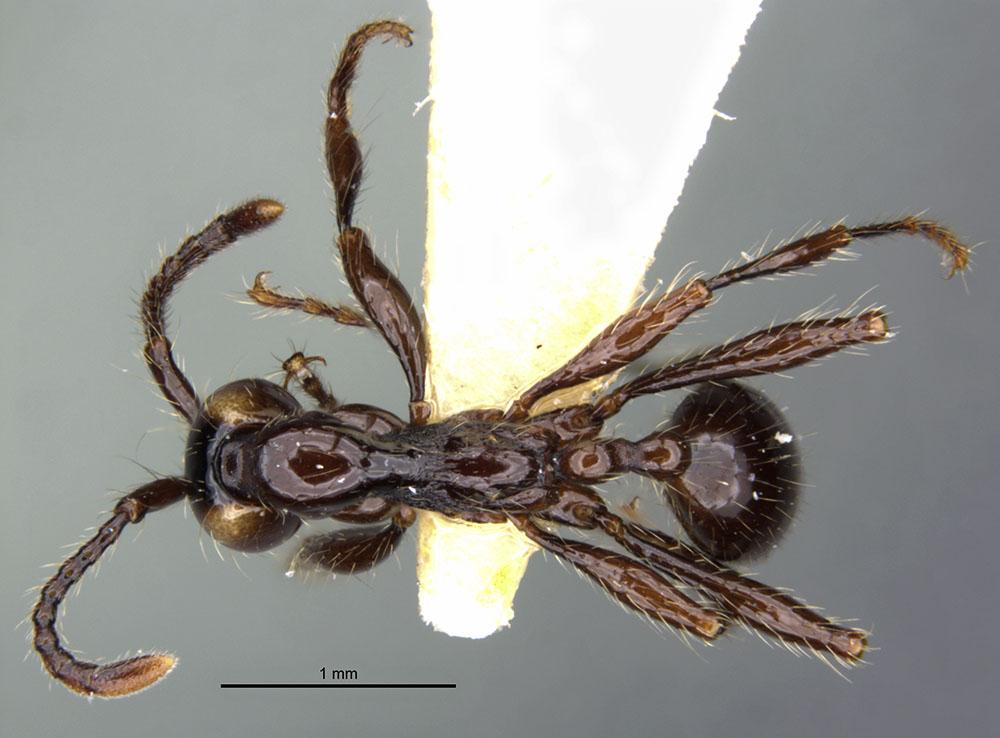 Image of Aenictus huonicus