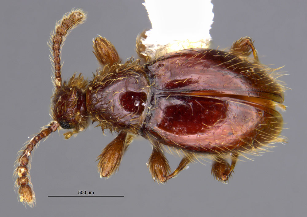 Image of Euconnus mississippicus