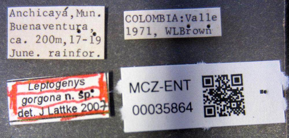 Media of type image, MCZ:Ent:35864 Identified as Leptogenys gorgona type status Holotype of Leptogenys gorgona. . Aspect: labels