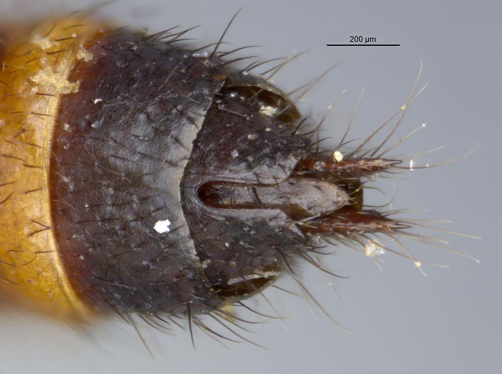 Image of Paederus obliteratus