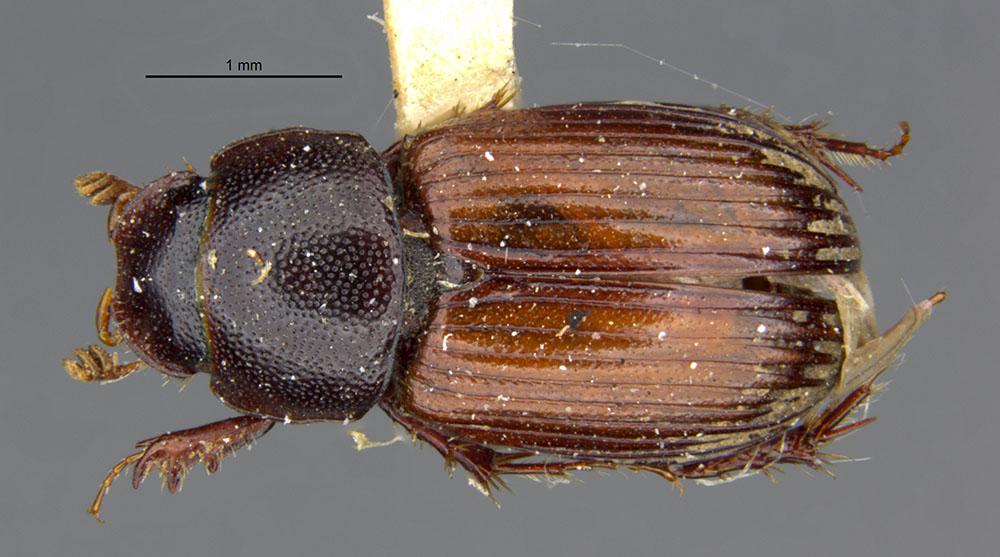 Media of type image, shows cataloged_item. MCZ:Ent:521913 Identified as Aphodius luxatus type status Syntype of Aphodius luxatus| Lectotype of Aphodius luxatus. . Aspect: habitus dorsal view