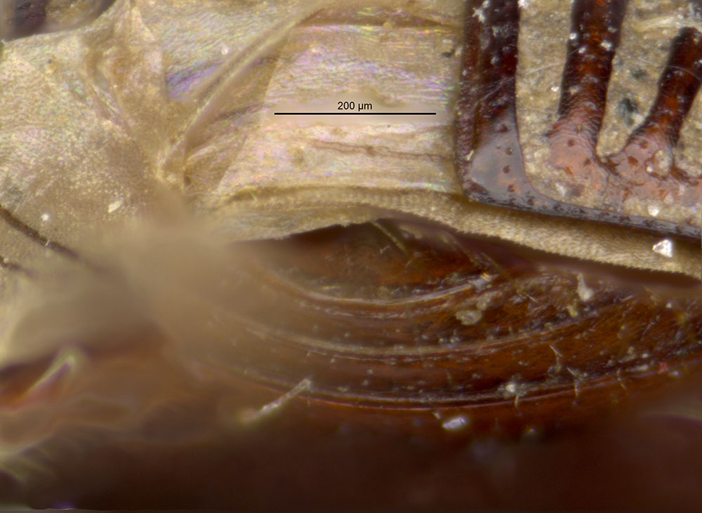 Media of type image, shows cataloged_item. MCZ:Ent:521913 Identified as Aphodius luxatus type status Syntype of Aphodius luxatus| Lectotype of Aphodius luxatus. . Aspect: pygidium