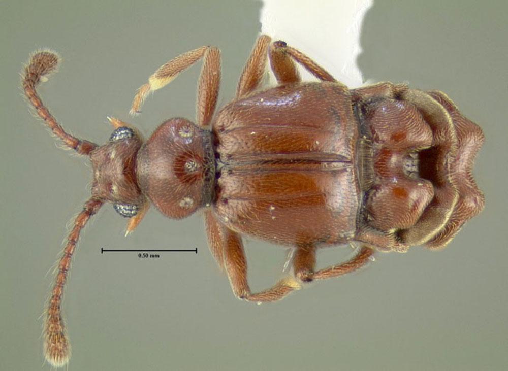 Image of Brachygluta abdominalis