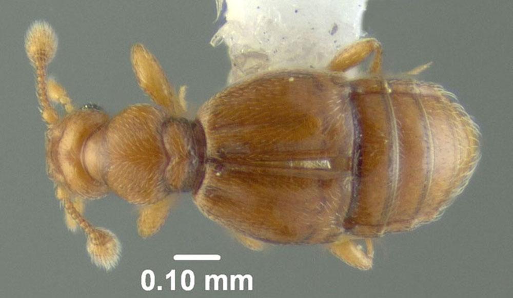 Image of Melba parvula