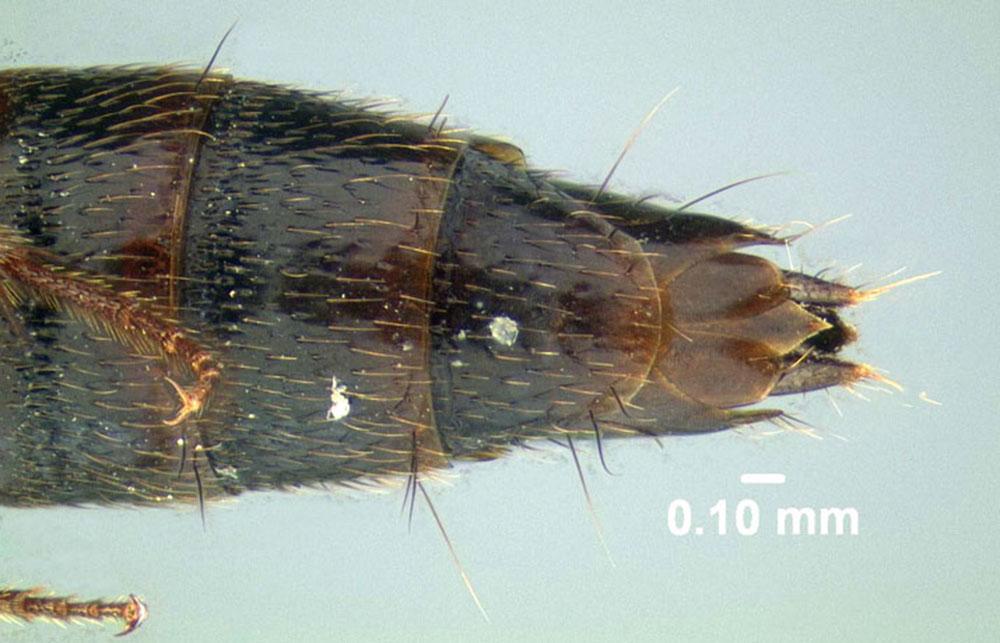 Image of Carphacis effrenatus