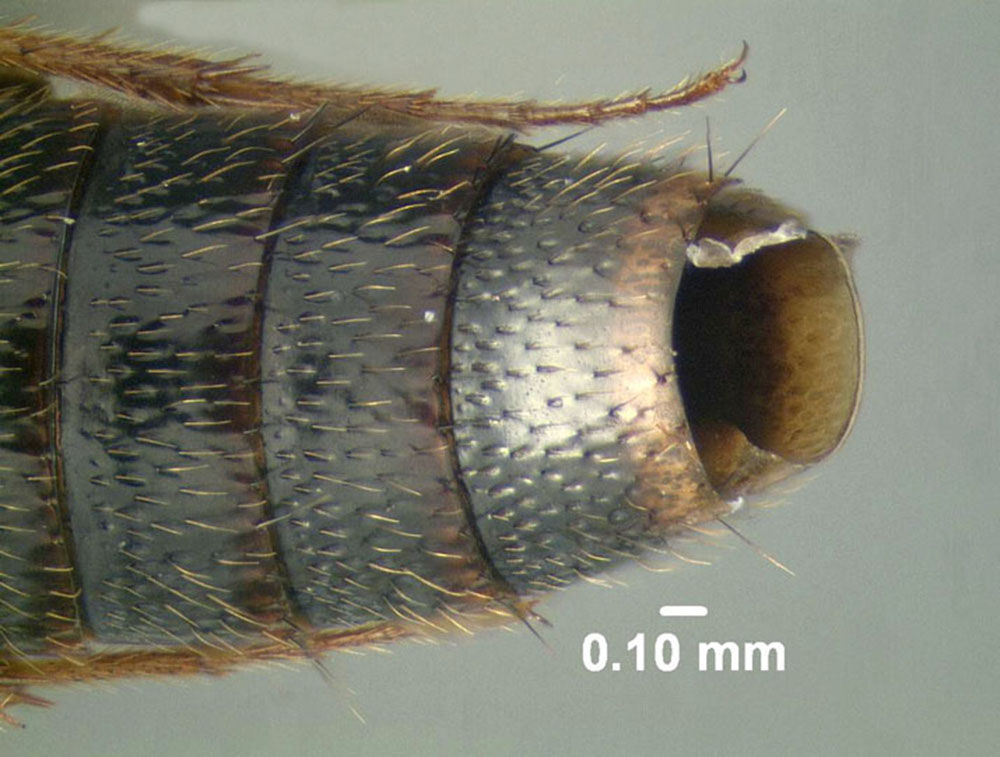 Image of Lordithon obsoletus