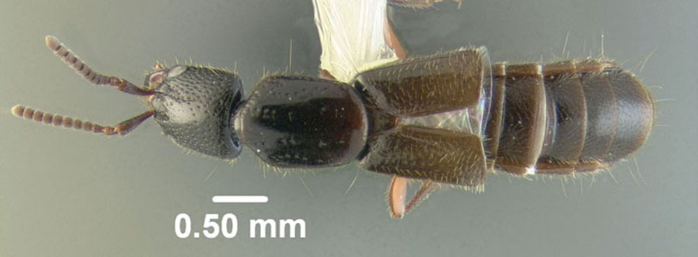 Image of Gyrohypnus angustatus