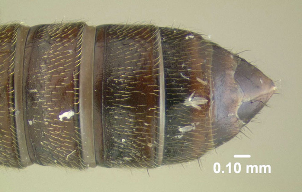 Image of Anotylus insecatus