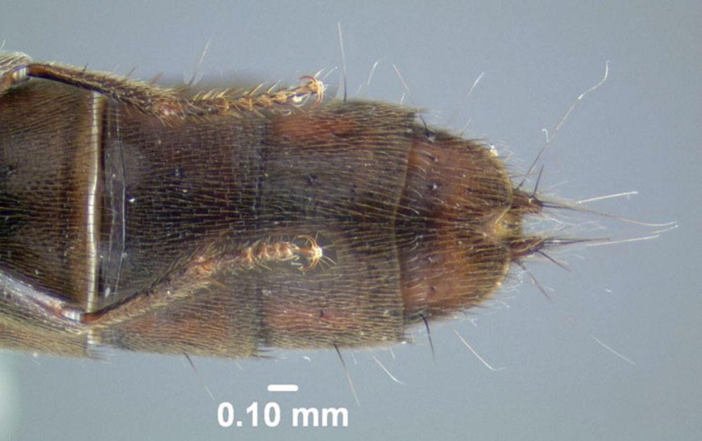 Image of Cafius bistriatus
