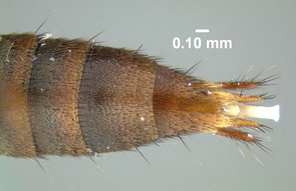 Image of Erichsonius brachycephalus