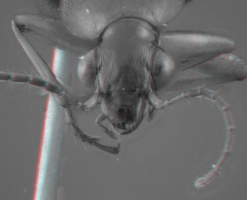 Image of Lebia grandis