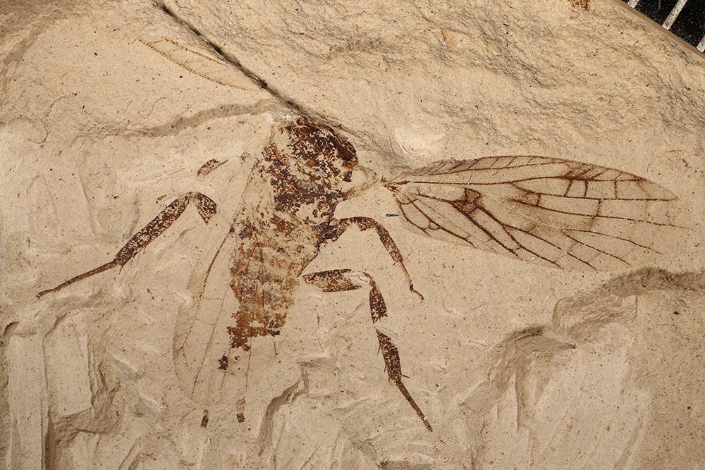http://mczbase.mcz.harvard.edu/specimen_images/entomology/paleo/large/PALE-10047_Lemmatophora_typa.jpg