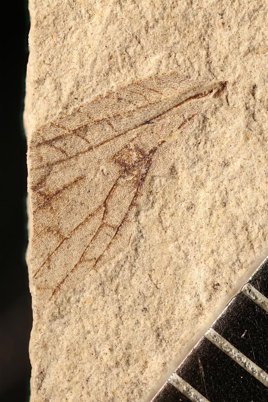 http://mczbase.mcz.harvard.edu/specimen_images/entomology/paleo/large/PALE-10056_Lemmatophora_typa.jpg