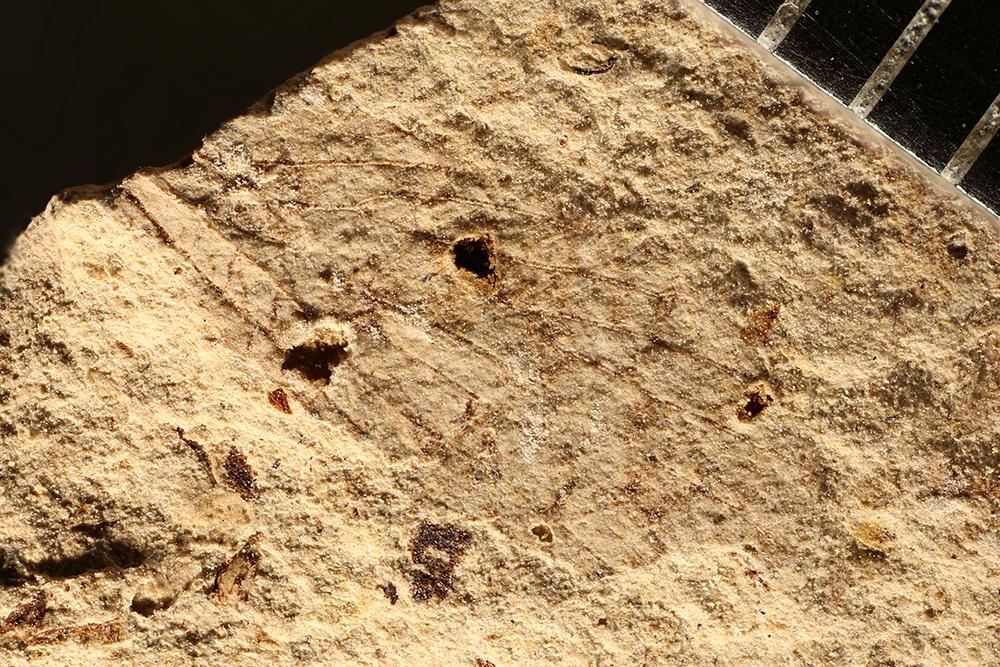 http://mczbase.mcz.harvard.edu/specimen_images/entomology/paleo/large/PALE-10061_Lemmatophora_typa.jpg